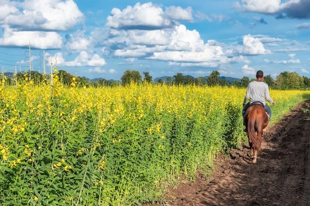 Konopie słoneczne, żółty kwiat crotalaria juncea z ogrodnikiem jeżdżącym na koniu w polu i niebieskim niebie