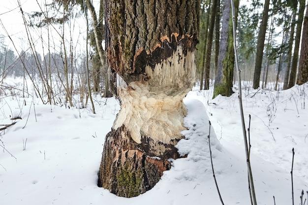 Konsekwencja inwazji bobrów. ślady bobrów na drewnie. drzewo hazardu. zimowy las