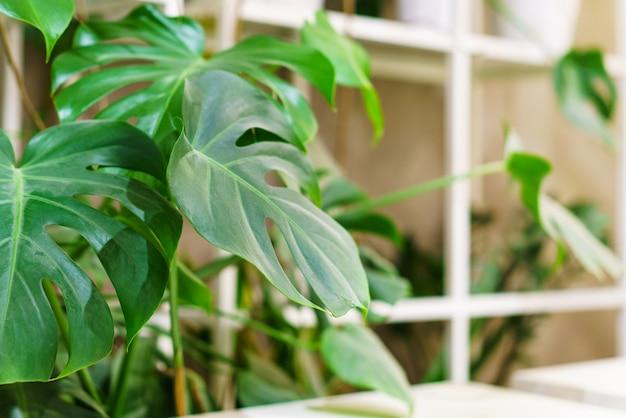 Konstelacja tajska monstera z pstrokatymi pięknymi liśćmi roślin tropikalnych piękna i niezwykła l...