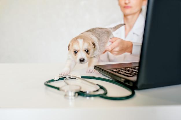 Konsultacja online z weterynarzem. weterynarz bada zwierzę za pośrednictwem czatu wideo. weterynarz sprawdza zwierzęcia domowego podczas połączenia konferencyjnego.