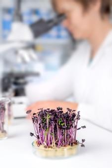 Kontrola jakości. starszy naukowiec lub technik testuje kiełki rzeżuchy