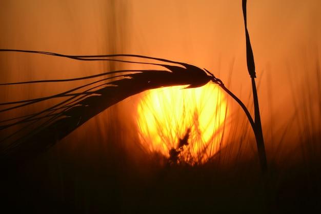 Konturuj dojrzałą łodygę ziarna rosnącego na polu o zachodzie słońca