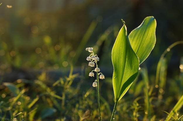 Konwalia kwiat las o wschodzie słońca, oświetlony przez słońce.