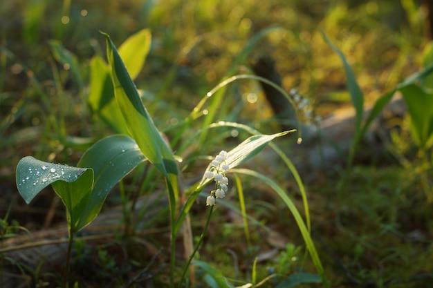 Konwalia kwitnąca kwiat w trawie o wschodzie słońca.