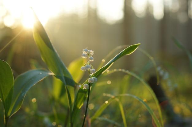 Konwalia kwitnąca na trawie o świcie w środku lasu.
