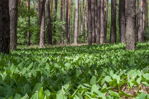 Konwalia w wiosennym lesie, krajobraz słoneczny dzień