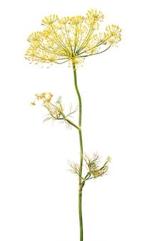 Koper kwitnienia roślin na białym tle