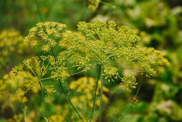 Koperkowy kwiat parasolowy kwiat ogrodowej rośliny zielnej koper. koper nasiona. koper pachnący w ogrodzie w ogrodzie