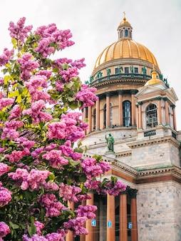 Kopuła katedry św. izaaka pod gałęzią kwiatów bzu w sankt petersburgu