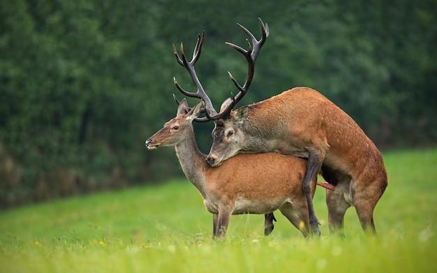 Kopulowanie jelenia, cervus elaphus, para w autmn.
