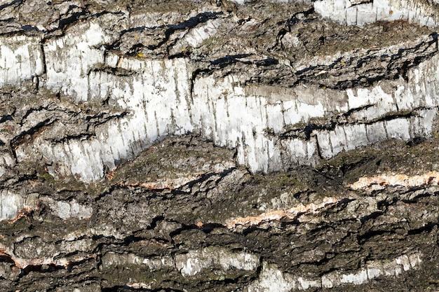 Kora brzozy z bliska, występuje szereg nieregularności