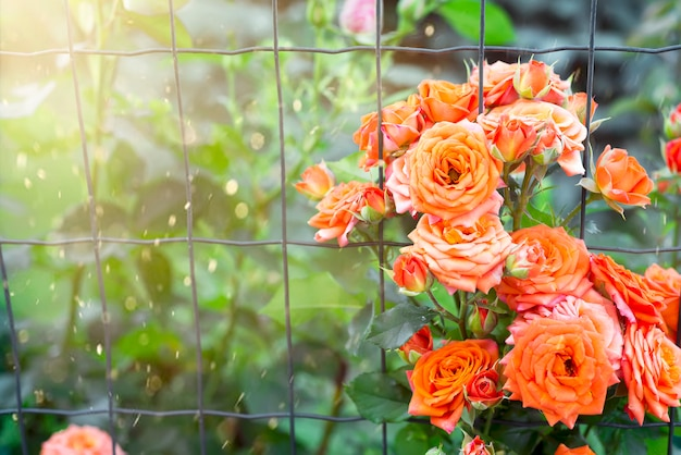 Koral róży o zachodzie słońca światło w ogrodzie