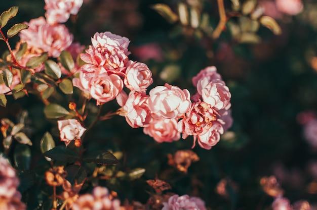 Koralowe róże kwitną w ogrodzie.