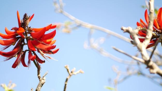 Koralowy czerwony kwiat drzewa w ogrodzie, kalifornia usa. erytrynowy płomień wiosenny kwiat, romantyczna atmosfera botaniczna, delikatny egzotyczny tropikalny kwiat. ekstrawaganckie kolory wiosny. delikatna świeżość rozmycia.
