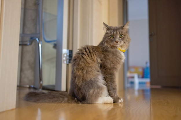 Korat domowy kot siedzi na drewnianej podłodze.