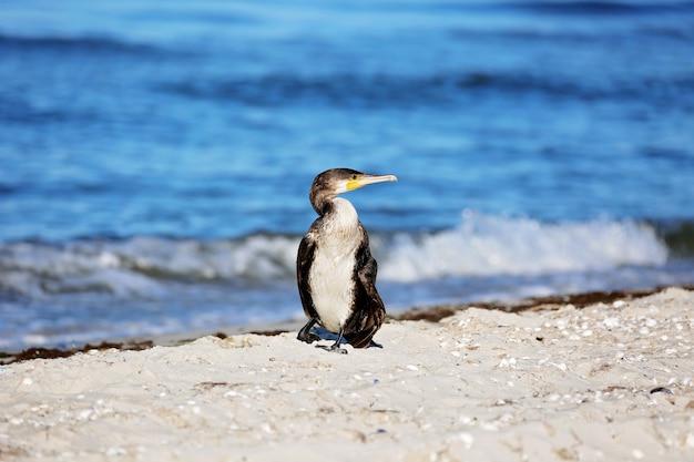 Kormoran czarny , phalacrocorax carb, nad brzegiem morza.