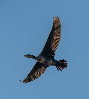 Kormoran ptak w locie na błękitne niebo
