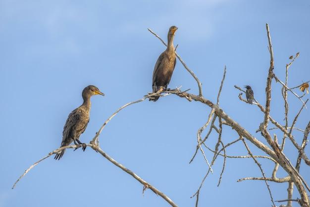 Kormorany siedzą na gałęzi drzewa z jasnym błękitnym niebem
