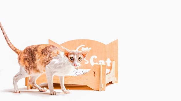 Kornwalijska rex kota pozycja przed zwierzęcia domowego łóżkiem odizolowywającym na białym tle