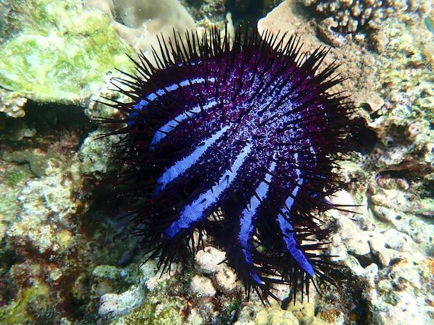 Korona cierniowa rozgwiazda z koralowcami w morzu, podwodny krajobraz z morskim życiem