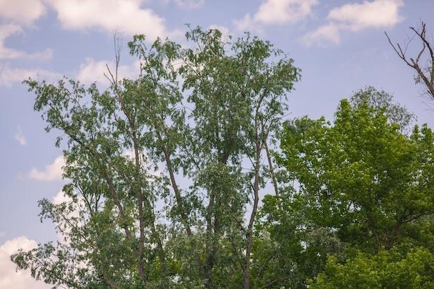 Korona drzew na tle błękitnego nieba.
