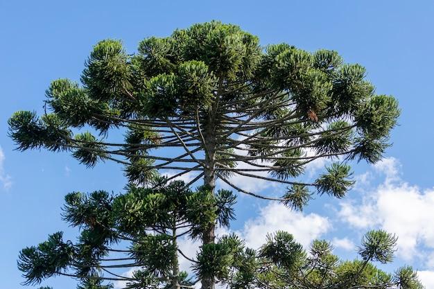 Korona drzewa araukarii, która produkuje zębniki