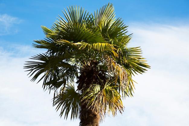 Korona palmy na tle błękitnego nieba. pojęcie wakacji w krajach tropikalnych, wakacje nad morzem