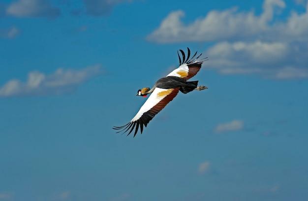 Koronnik w naturalnym środowisku. kenia. jezioro naivasha