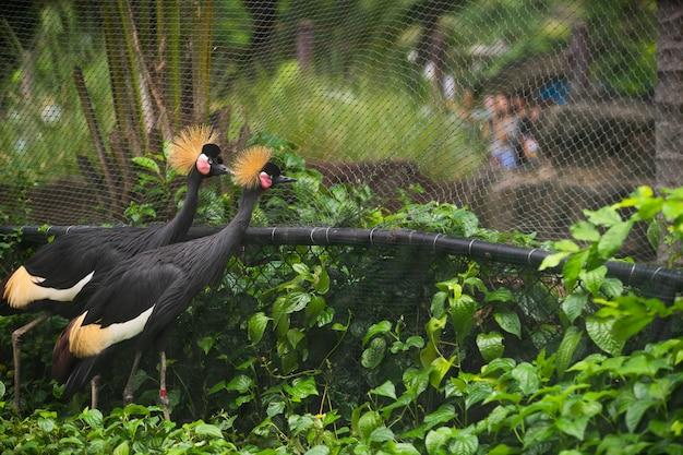 Koronowani dźwigowi ptaki chodzi w zoo.