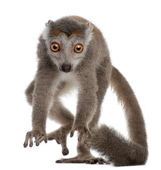Koronowany lemur odizolowywający na bielu