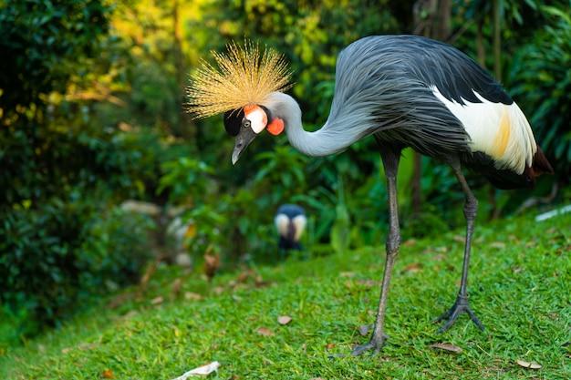 Koronowany żuraw chodzi po zielonym parku