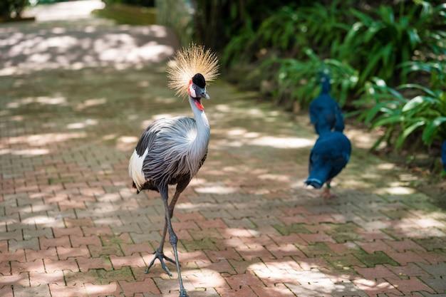 Koronowany żuraw idzie ścieżką w zielonym parku. obserwacja ptaków