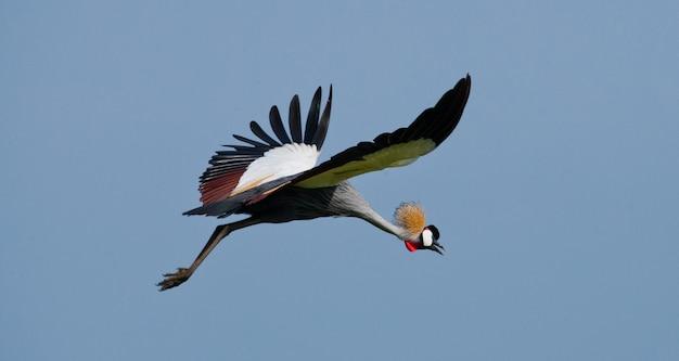 Koronowany żuraw w locie na tle błękitnego nieba