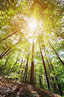 Korony drzew w wiosennym lesie na tle nieba z promieniami słońca
