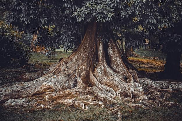 Korzeń dużego drzewa