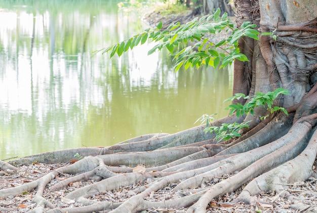 Korzeń wielkiego drzewa, posadzony na brzegu stawu