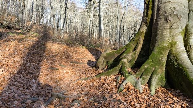 Korzenie ciebie w jesiennym lesie. krasnaja polana, rosja.