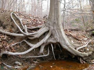 Korzenie drzew, drzewa