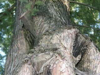 Korzenie drzew, korzeni