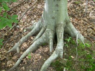 Korzenie drzew, po kolana