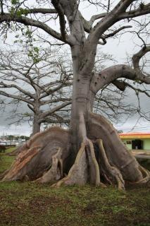 Korzenie drzew, rosną
