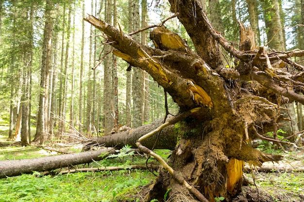 Korzenie drzew w lesie