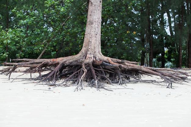 Korzenie drzewa stały martwe, ponieważ uległy erozji przez wodę morską na plaży.