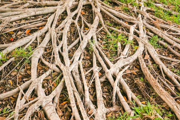 Korzenie dużego drzewa pokrywały ziemię.