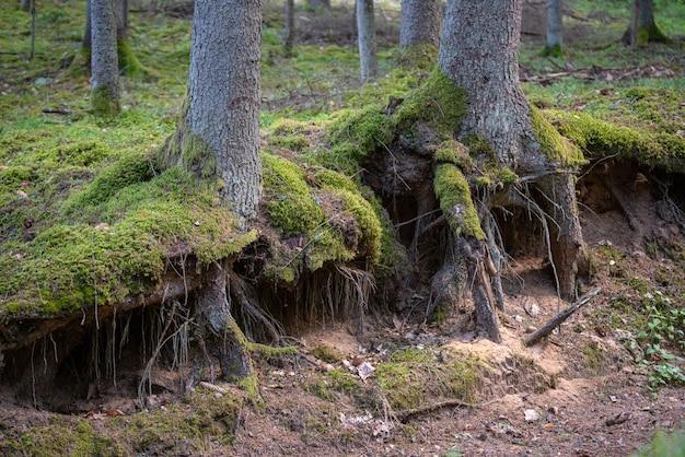 Korzenie sosny na powierzchni korony lasu. omszały korzeń drzewa wychodzący z ziemi w lesie.