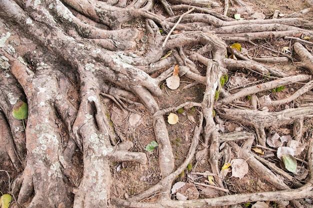 Korzenie starego drzewa
