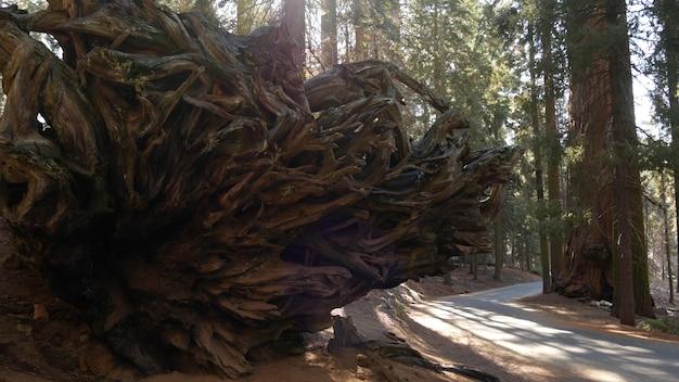 Korzenie upadłej sekwoi, gigantyczny pień sekwoi w lesie. wyrwana duża sosna iglasta leży w parku narodowym północnej kalifornii w usa. ochrona środowiska i turystyka. stare lasy.