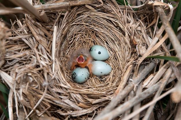 Kos czerwonoskrzydły. gniazdo z trzema jajami i jednodniowym pisklęciem błagającym o jedzenie.