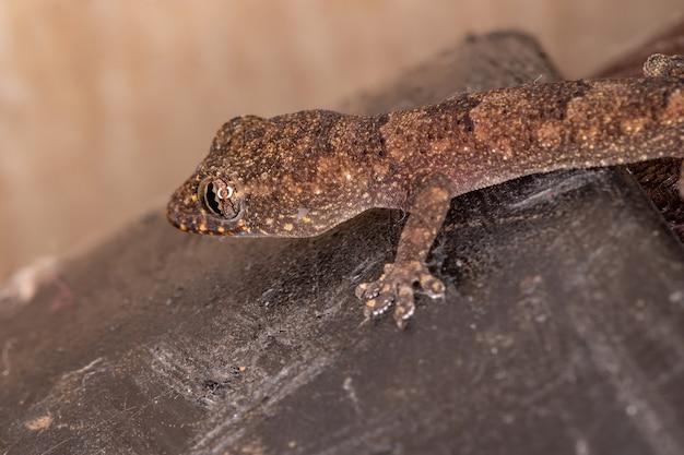 Kosmopolityczny gekon domowy z gatunku hemidactylus mabouia