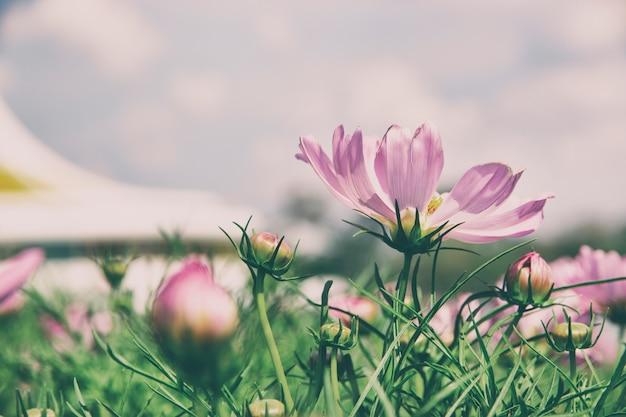 Kosmos kwiat w stylu vintage ogród.